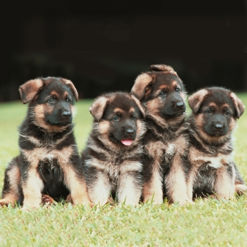 German Shepherd Breeders And Choosing Your Puppy