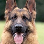 About German Shepherds…