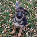 Your German Shepherd Puppy And How To Choose Treats