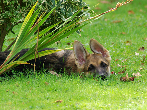 Adopting A Senior Dog From A German Shepherd Rescue