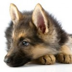 Choosing German Shepherd Puppies